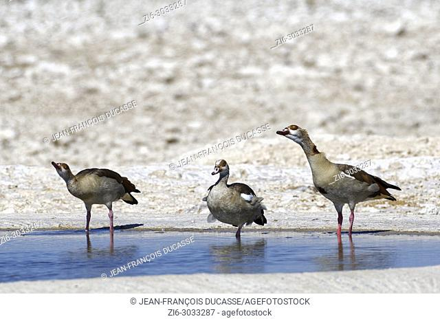 Egyptian geese (Alopochen aegyptiaca) in water at waterhole, resting, Etosha National Park, Namibia, Africa