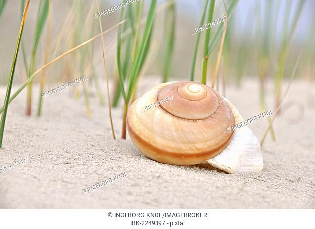 Snail shell on the sand, North Sea beach, St. Peter-Ording, Schleswig-Holstein, Germany, Europe