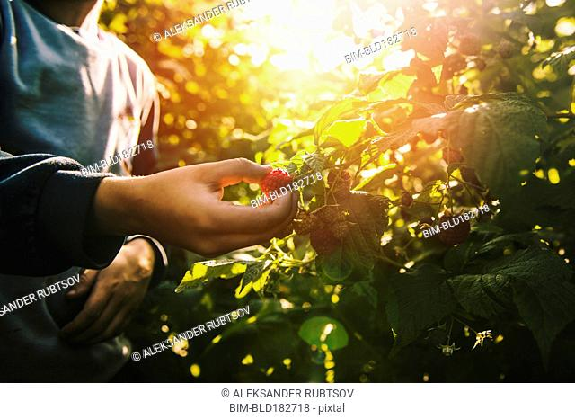 Close up of boy picking raspberry