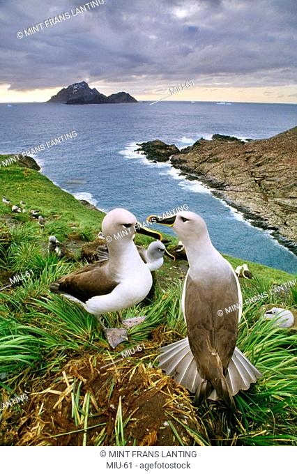 Gray-headed albatrosses, Thalassarche chrysostoma, South Georgia Island