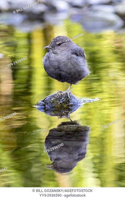 American Dipper (Cinclus mexicanus) - Goldstream Provincial Park, Victoria, Vancouver Island, British Columbia, Canada
