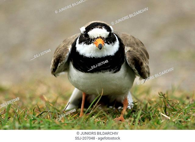 Ringed Plover (Charadrius hiaticula), adult standing, seen head-on. Netherlands