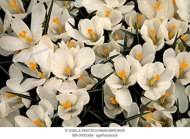 White Crocus (Crocus vernus 'Jeanne d'Arc'), Keukenhof, Lisse, South Holland, Holland, Netherlands