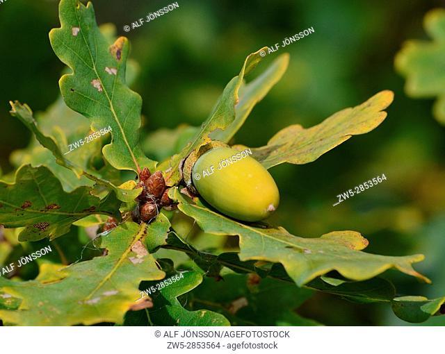 Unripe oak acorn, Quercus robur, with leaf at autumn in Scania, Sweden