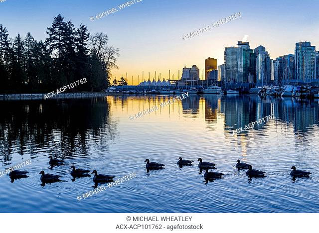 Geese at dawn, Coal Harbour, Vancouver, British Columbia, Canada