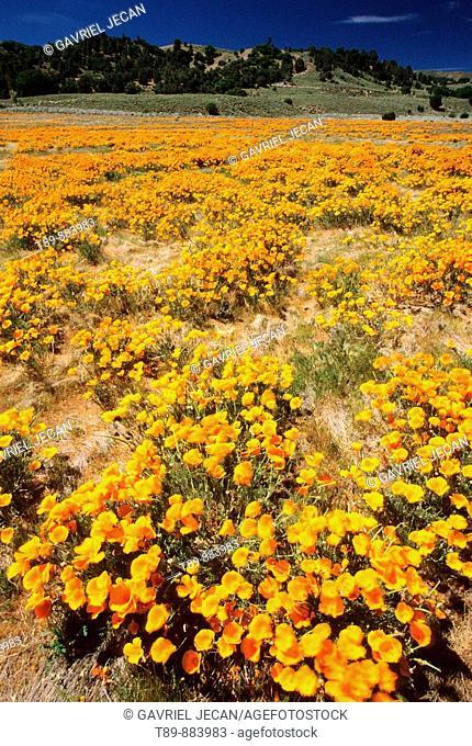 Poppyes in Antelope Valley Poppy Reserve