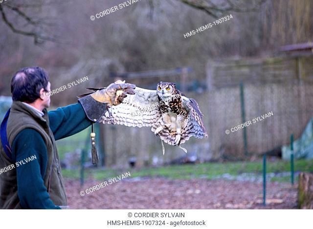 France, Loiret, Sologne, Ligny le Ribault, Cape Eagle Owl (Bubo capensis)