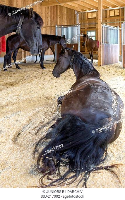 Pure Spanish Horse, Andalusian. Herd resting in an open stable. Germany