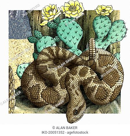 Rattlesnake (Crotalus) coiled near cactus