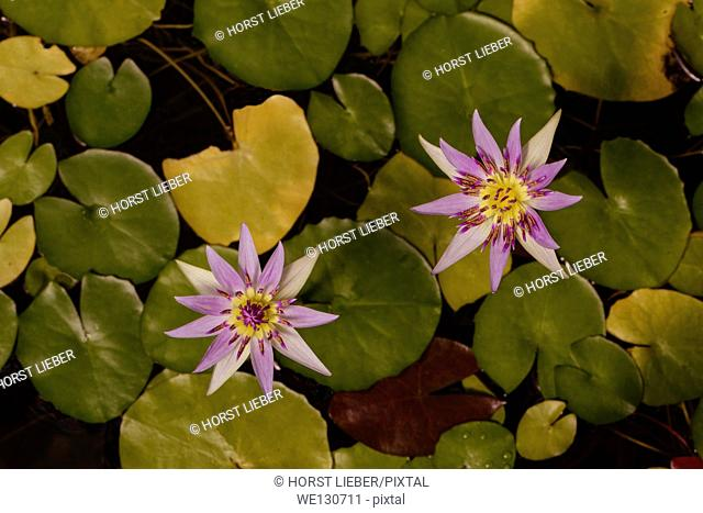 Two purple lotus flower. Botanical Garden University of Karlsruhe, Germany