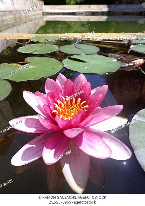 Water lily (Nymphaea tetragona). Catalonia, Spain