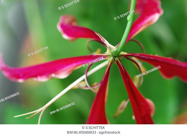 glory lily Gloriosa superba 'Rothschildiana', Red Blossom of Glory Lily from below, Germany