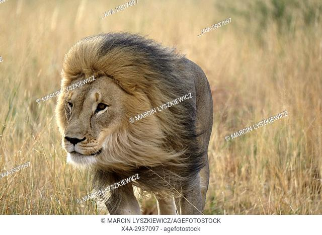 Prime-male African lion (Panthera leo) running in the grass, Africat Centre, Namibia