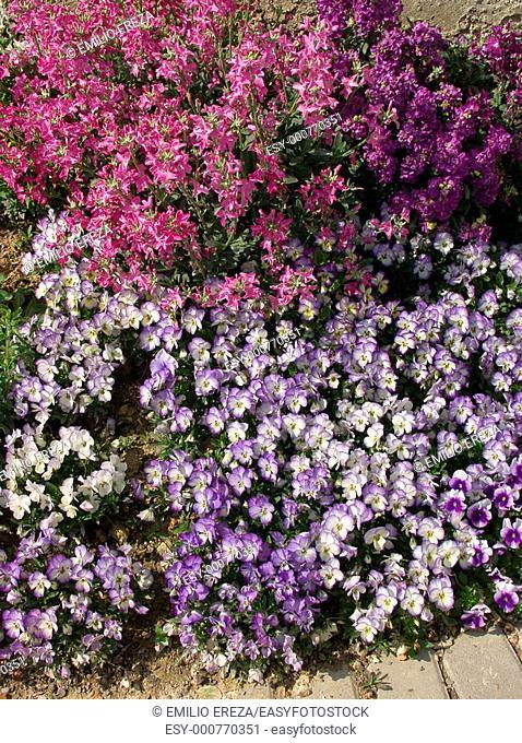Dwarf pansies Viola hybr and Matthiola