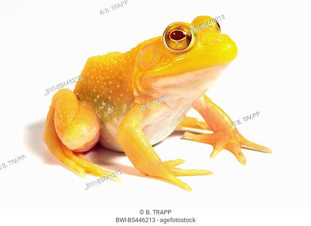 pig frog, lagoon frog, southern bullfrog (Lithobates grylio, Rana grylio), albino, cutout, USA