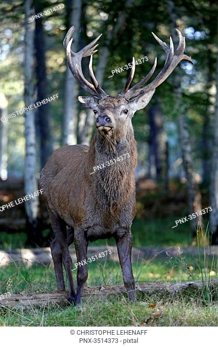 France, Burgundy, Yonne. Area of Saint Fargeau and Boutissaint. Slab season. Stag in the undergrowth