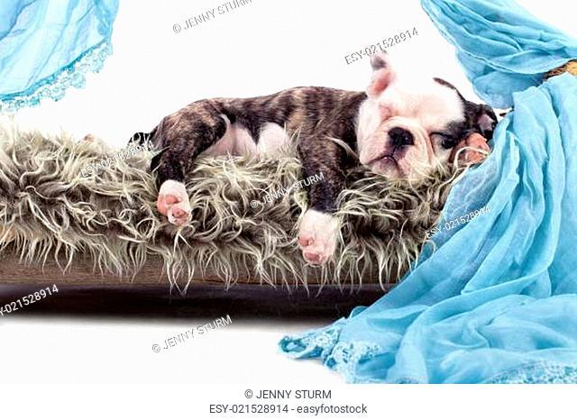 schlafende Bulldogge - Welpe
