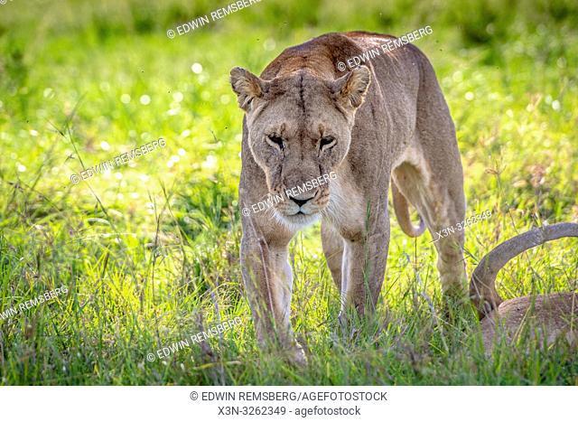 A female Lion, (Panthera leo) in Maasai Mara National Park, Kenya, Africa