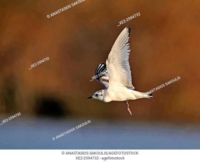 Little gull (Hydrocoloeus minutus or Larus minutus), Crete