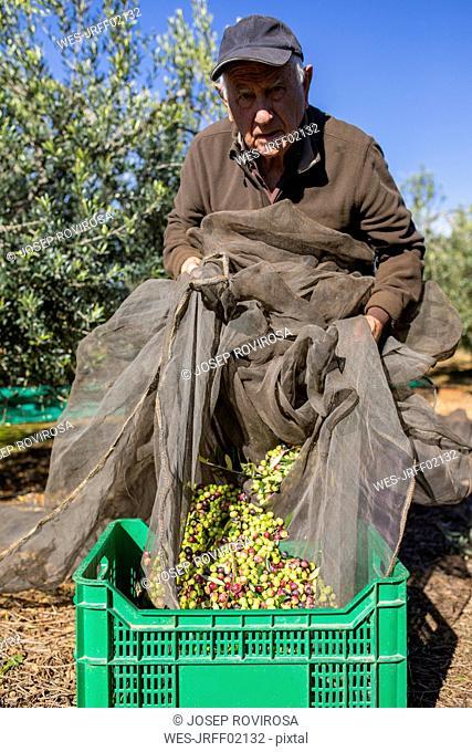 Portrait of senior man harvesting olives in orchard