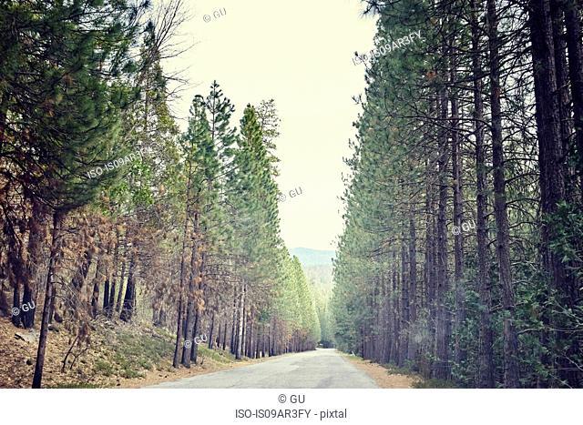 Tree lined road, Yosemite National Park, California, USA