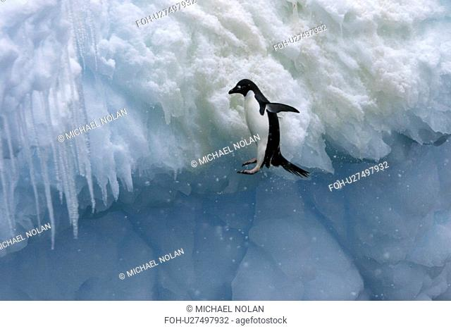 Adult Adelie penguins Pygoscelis adeliae falling off of an iceberg in a snowstorm at Paulet Island in the Weddell Sea. rr