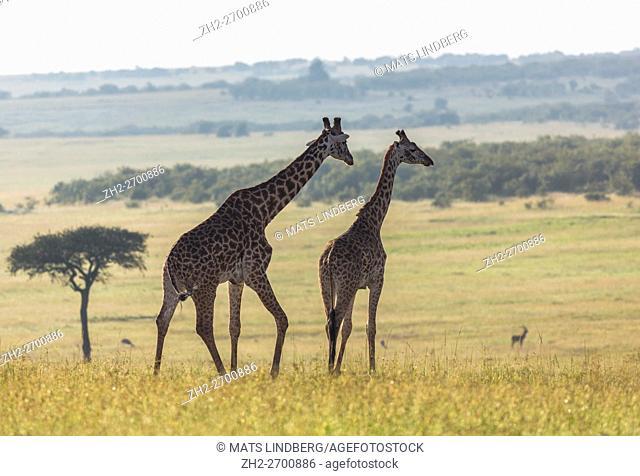 Two giraffes walking on the savanna with a nice background view over the savanna in the background, Masai Mara, Kenya, Africa