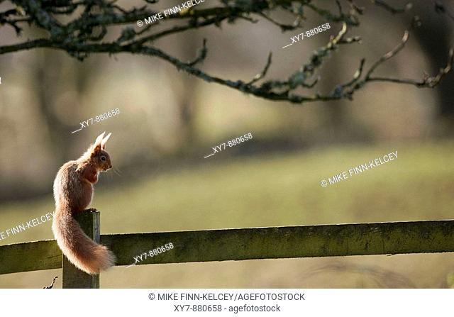 A red squirrel Sciurus vulgaris in a garden in Scotland