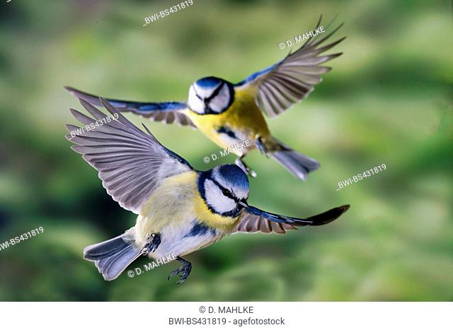 blue tit (Parus caeruleus, Cyanistes caeruleus), blue tis in flight, Germany, North Rhine-Westphalia