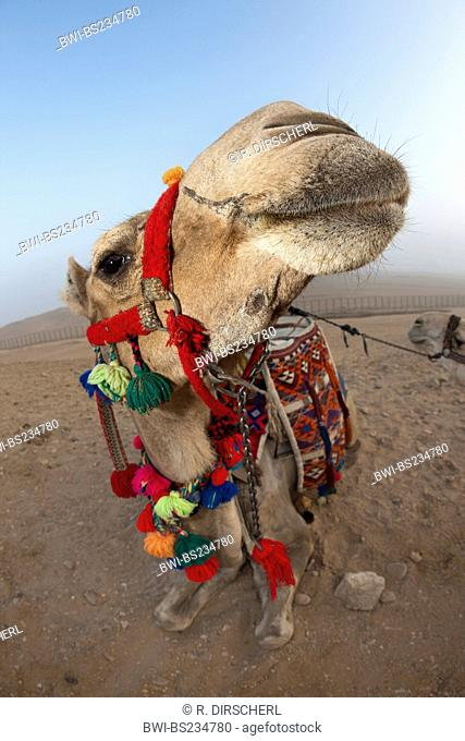 dromedary, one-humped camel (Camelus dromedarius), Arabian Camel, portrait, Egypt