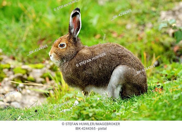 Arctic hare (Lepus timidus Varronis), moulting, Canton of Schwyz, Switzerland