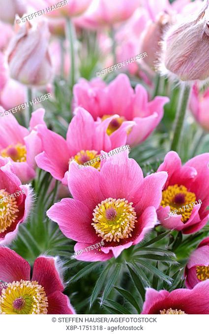 Pasque flower Pulsatilla vulgaris 'Rote Glocke'
