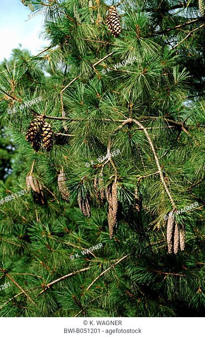 Bhutan Pine, Himalayan Pine (Pinus wallichiana), branch with cones