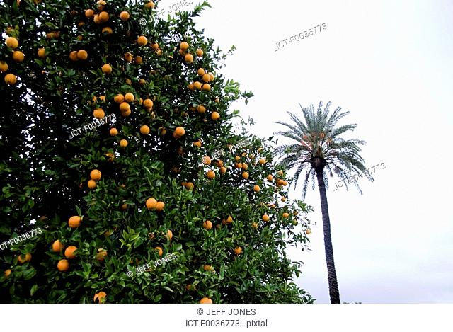 Morocco, riad near Taroudant, orange grove