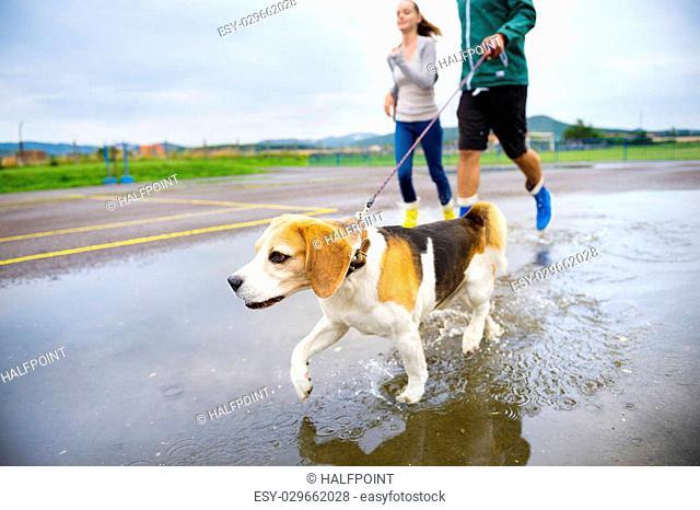 Young couple walk dog in rain. Detail of beagle dog splashing in puddles