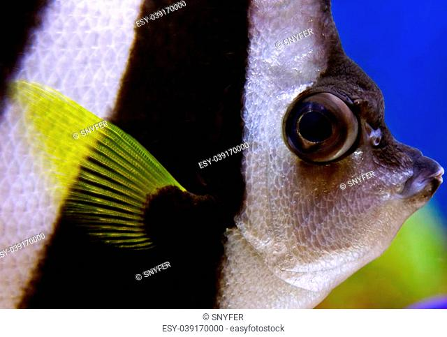 Schooling bannerfish (Heniochus diphreutes) sometimes reffered as angelfish closeup