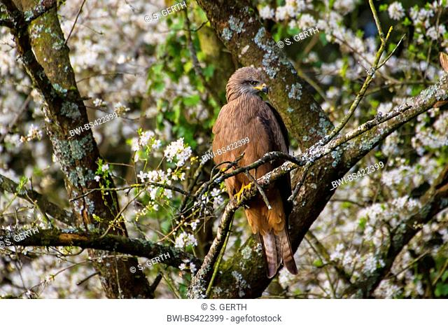 Black kite, Yellow-billed kite (Milvus migrans), sitting in a blloming tree, Switzerland, Sankt Gallen