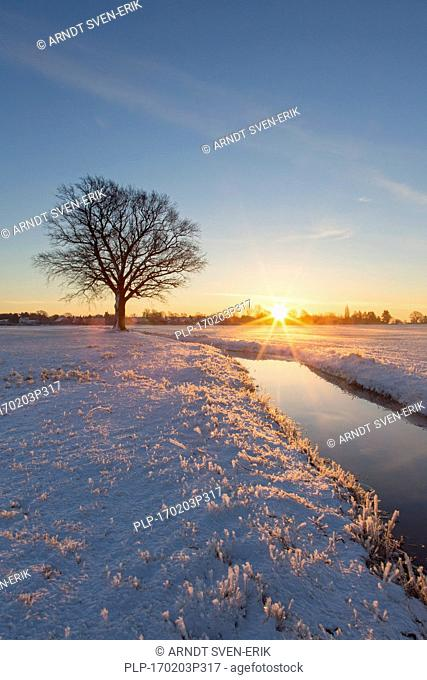 Solitary English oak / pedunculate oak tree (Quercus robur) in snow covered field at sunrise in winter