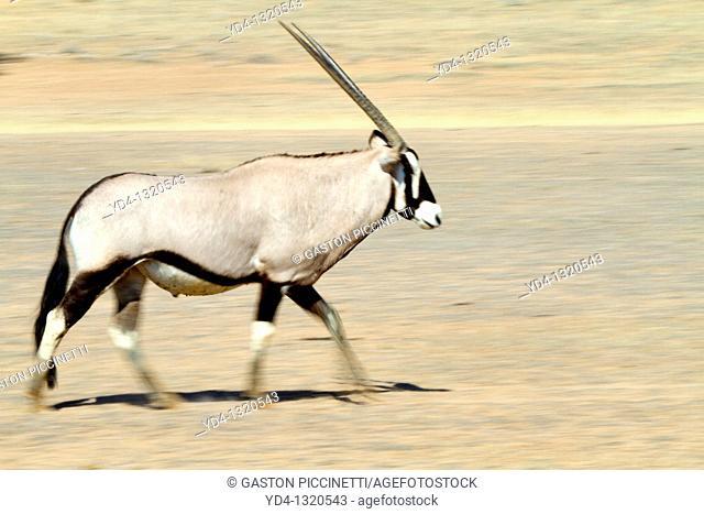 Gemsbok Oryx gazella, walking, Kgalagadi Transfrontier Park, Kalahari desert, South Africa