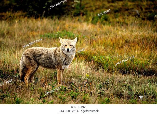 Coyote, Canis latrans, Canidae, mammal, animal, Jasper National Park, Alberta, Canada