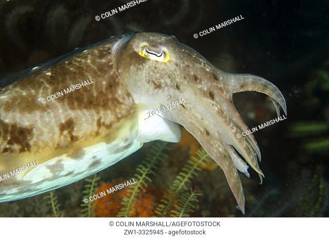 Broadclub Cuttlefish (Sepia latimanus, Sepiidae family) raising tentacles in defensive position, Baung Penyu (Coral Wall) dive site, near Blue Lagoon, Padangbai