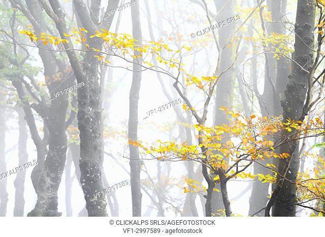 Branch of a tree with leaves in autumn garment during a foggy day. Montemezzo, Como Lake, Lombardy. Italy