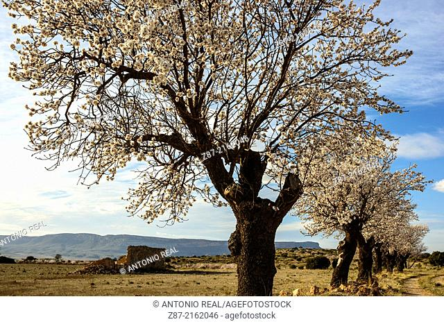 Almond trees in bloom, Almansa, Albacete province, Castilla-La Mancha, Spain