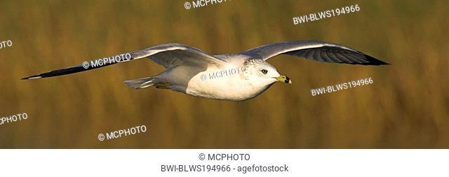 ring-billed gull Larus delawarensis, flys, USA, Florida