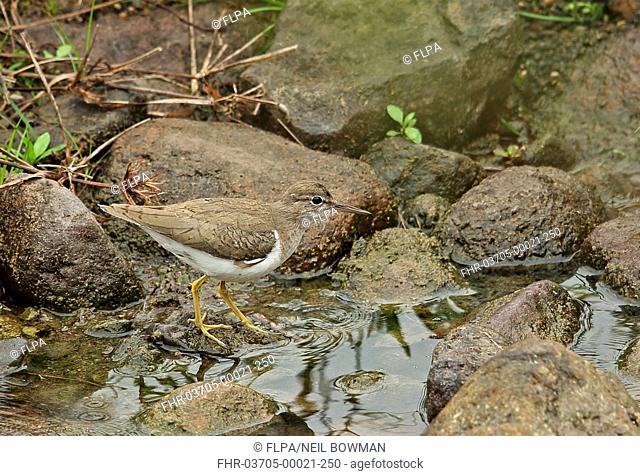 Spotted Sandpiper (Actitis macularius) adult, non-breeding plumage, foraging in stream, Honduras, February