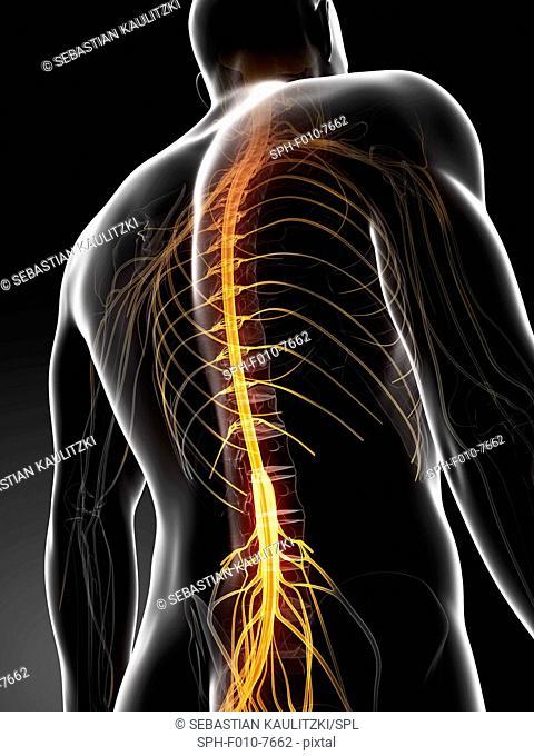 Human spinal cord, computer illustration