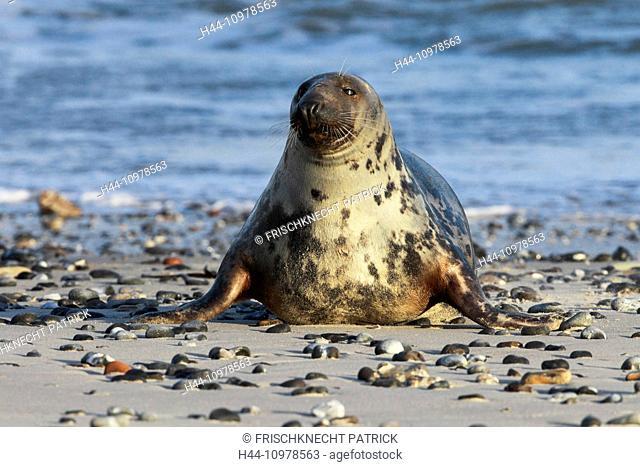 Germany, Europe, Halichoerus grypus, Helgoland, dune, island, isle, grey seal, coast, sea, marine mammal, nature, North Sea, portrait, seal, seals, beach