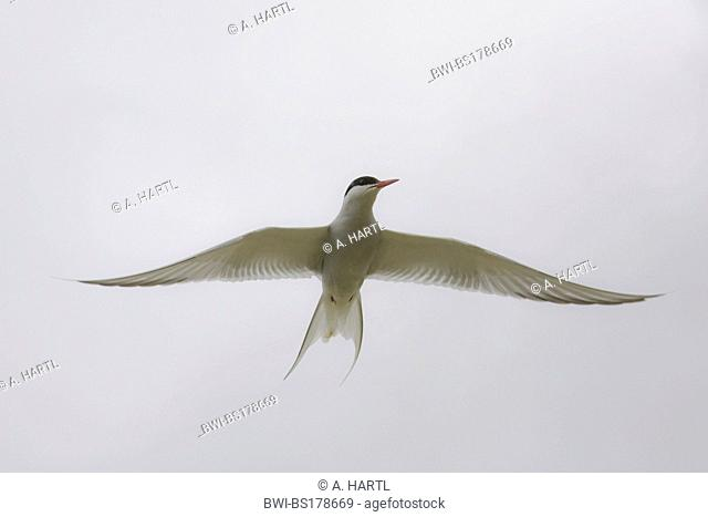 arctic tern (Sterna paradisaea), flying, Norway