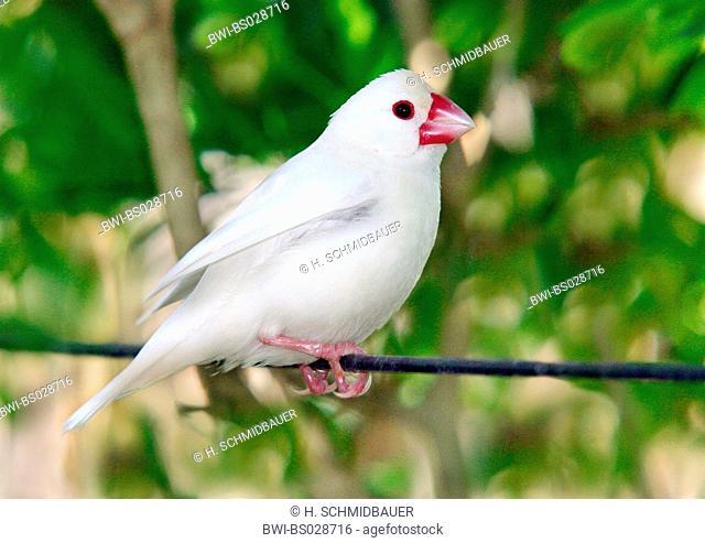 Java Sparrow, Padda oryzivora, Java Finch, Java Rice Sparrow, Java Rice Bird (Padda oryzivora), sitting on cable