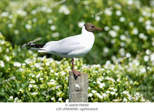 England, Northumberland, Farne Islands, A black-headed adult Gull Larus ridibundus perched on a post above Puffin burrows on the Farne Islands